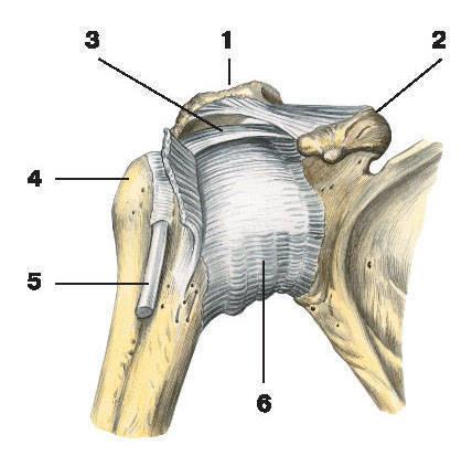 Капсула и связки плечевого сустава.