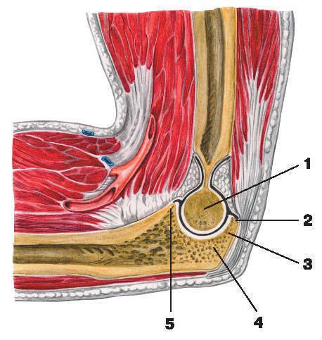 На рисунке справа показан мыщелок локтевого сустава.