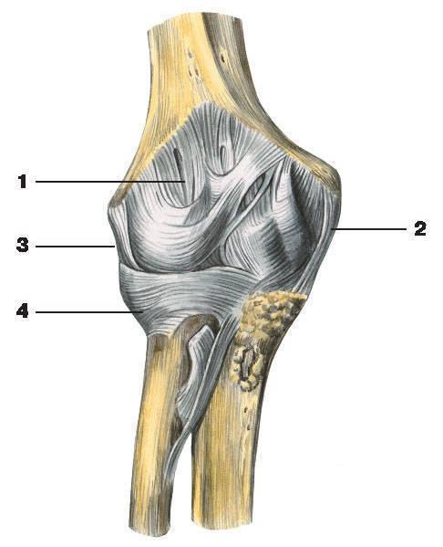 Связки локтевого сустава 1 - суставная капсула; 2 - локтевая.
