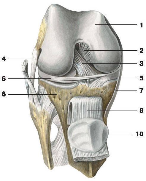 Функции менисков коленного сустава.  Коленный сустав с удаленной...