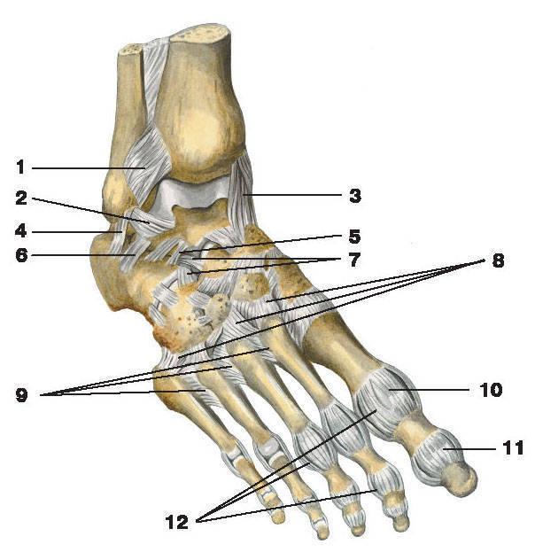 Рис. 57.  Связки и суставы стопы (тыльная поверхность).