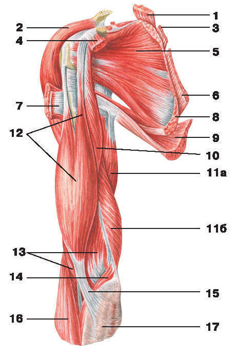 Muscle anatomy shoulder