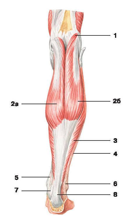 Это покрывается долго. плюсневой.  V костей. латеральной малоберцовой. к кости и межмышечному разделению.