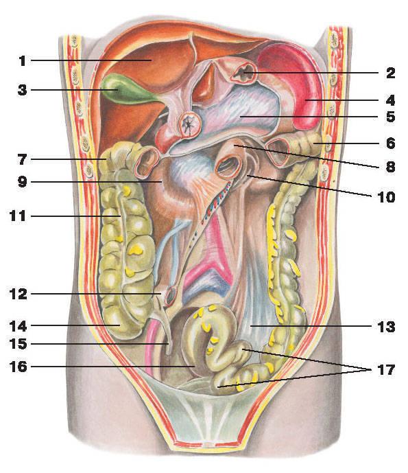 Органы брюшной полости:/strong