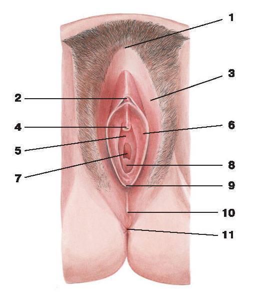 Женские половые органы — Атлас