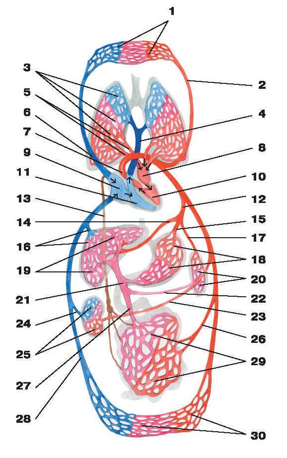 3 - капилляры легких; 4. 1 - капилляры головы, верхних отделов туловища и верхних конечностей; 2 - левая...