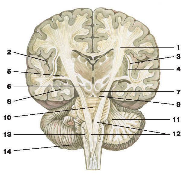 Промежуточный мозг — Атлас