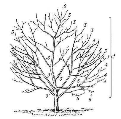 Энциклопедия фотографий PhotoGallerys.ru.  Схема строения кроны плодового дерева.  Все про автомобили фото...