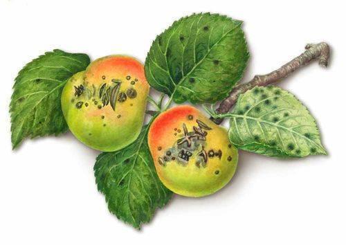Болезни плодовых деревьев Парша