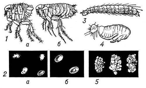 1 - блохи: а - человеческая, б - крысиная; 2 - яйца блох
