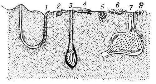 Типичные представители инфауны: кольчатые черви - 1 - пескожил, 8...