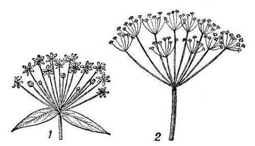 Зонтик (umbella) соцветие растений, в котором цветоножки всех цветков одинаковой длины и выходят как бы из верхушки...