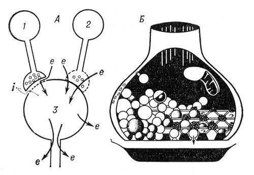 Рис. 1. А - схема синапсов с химическим и электрическим механизмами передачи (течение тока показано стрелками): е...
