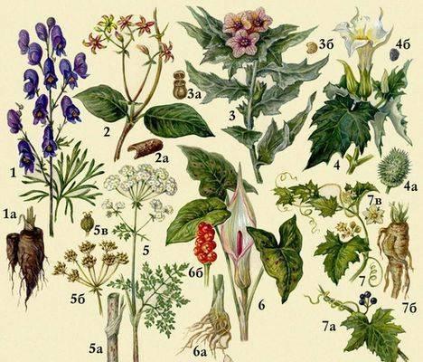 Ядовитые растения: 1 - аконит каракольский