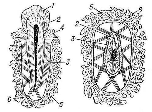 Рис. 3. Схема строения зуба человека (слева - продольный, справа - поперечный распил): 1 - эмаль; 2 - дентин; 3...