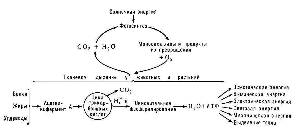 Схема превращения энергии в живых клетках: тканевое дыхание, образование АТФ и пути его использования...