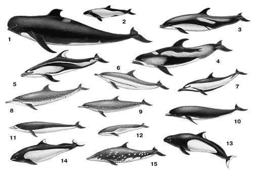 Дельфины: 1 - чёрная гринда (Globicephalus melas); 2 - дельфин...