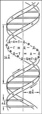 Понаблюдайте.  Схема молекулы ДНК.