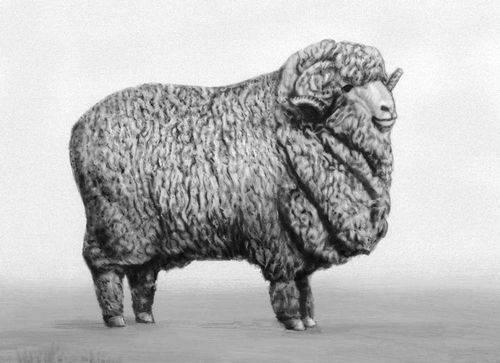 Мериносы относятся к породе овец, имеющих самые длинные и тонкие волокна шерсти.  Благодаря своему строению и толщине...