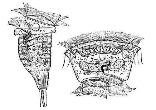 Кругоресничные инфузории (Peritricha) подкласс простейших класса инфузорий (См. Инфузории).  Тело в форме колокола...