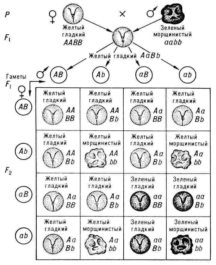 Если открытие Менделя было обусловлено длительной... учение о закономерностях наследственности, положившее начало.