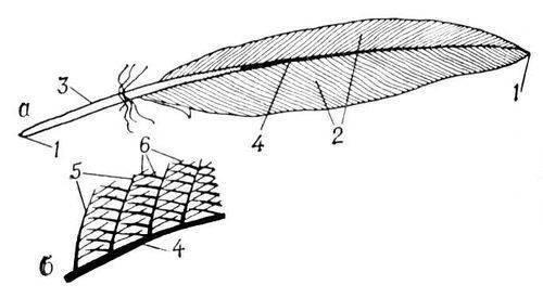 Схема строения контурного пера: а - общий вид пера; б - часть пера (увеличено); 1 - стержень; 2 - опахала; 3 - очин...