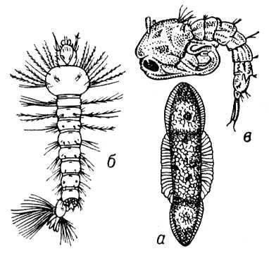 Рис. 2. Развитие малярийного комара: а - яйцо; б - личинка; в - куколка.