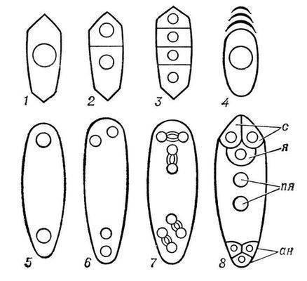 Зародышевый мешок женский гаметофит, половое поколение покрытосеменных растений.  З. м. развивается в центральной...