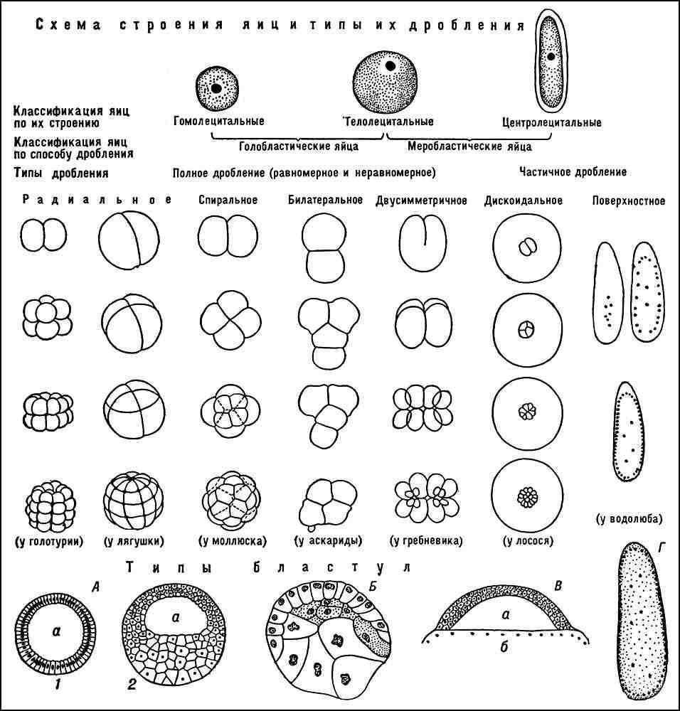 П. П. с качественно различающейся в... Схема строения яиц, типы их дробления и типы бластул: А - целобластула (1...