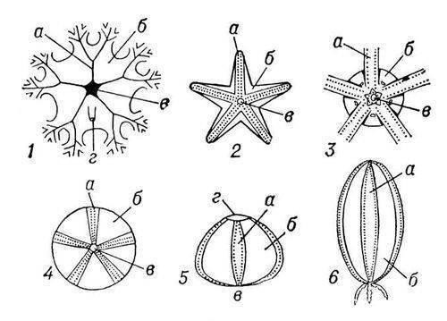 Рис. 2. Схемы наружного строения различных иглокожих: 1 - морской лилии; 2 - морской звезды; 3 - офиуры; 4—5...