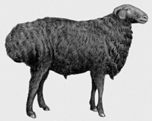 Курдючная овца, Берлинский зоопарк, мухи.