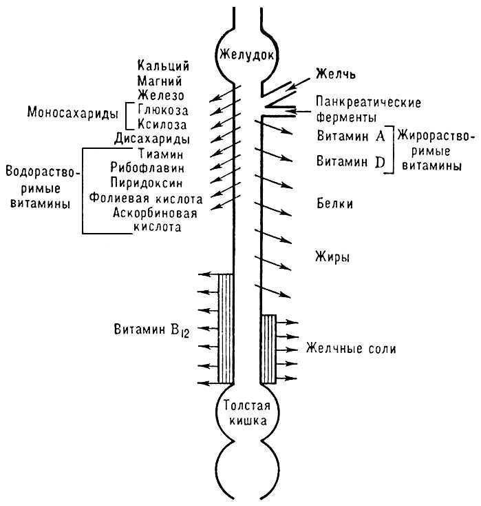 Рис. 3. Схема распределения пищеварительных и резорбтивных функций вдоль тонкой кишки.  Лит.:Бабкин Б. П...