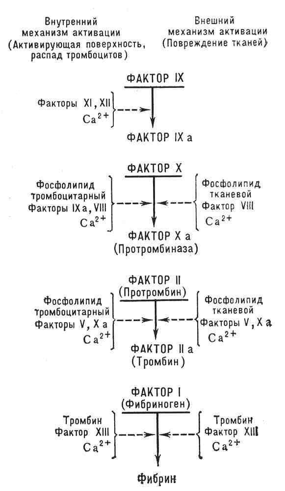 Механизм свертывания крови.
