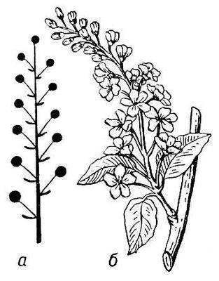 Кисть,соцветие с удлинённой неразветвлённой главной осью и цветками...
