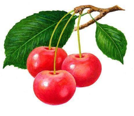 Из ядрышка вишневой косточки при любом повреждении (например, попытке его пожевать) начинает...  1. Вишня.