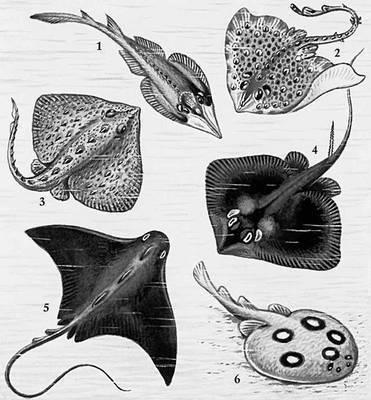 Большинство Скаты питается донными.  Плодовитость. пилы-рыбы. животными.