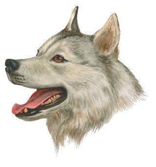 Эскимосская лайка (эскимосская собака).  Арктическая ездовая порода.