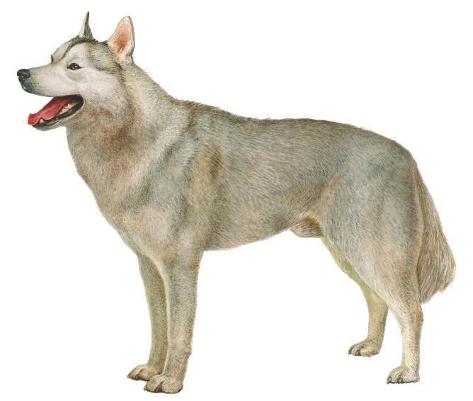 Кобели...  Эскимосская собака была выведена в Восточной Сибири.