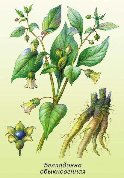 калина ягода свойства. ...многолетнее травянистое растение b семейства/b...