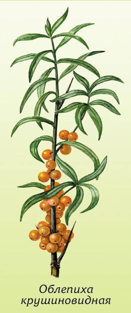 Облепиха - неприхотливое растение.  В диком виде она растет, образуя...